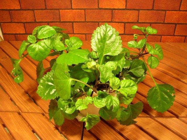 人気観葉植物プレクトランサス